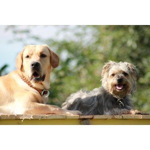 http://www.selleriestpierre.com/86-365-thickbox/collier-etrangleur-tresse-pour-petits-chiens.jpg